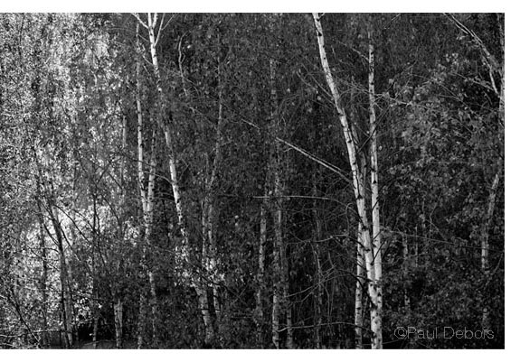 Silver Birch Trees, Tate Modern