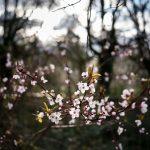 Prunus cerasifera, Gunnersbury Park