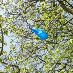 blue plastic bag stuck in horse chestnut tree, Ealing Common