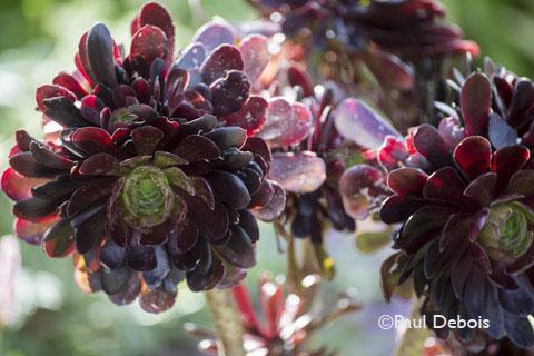 "Foamlea Gardens, Mortenhoe, Devon, Aeonium ""Shwartzkopf'"