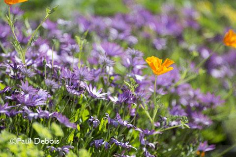 Foamlea Gardens, Mortenhoe, Devon, Osteospermum 'Cannington Ray'