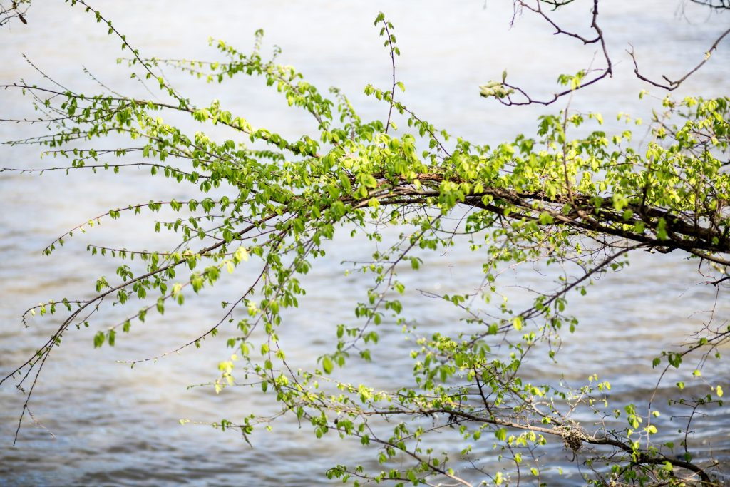 Beech tree next to River Thames, Brentford.