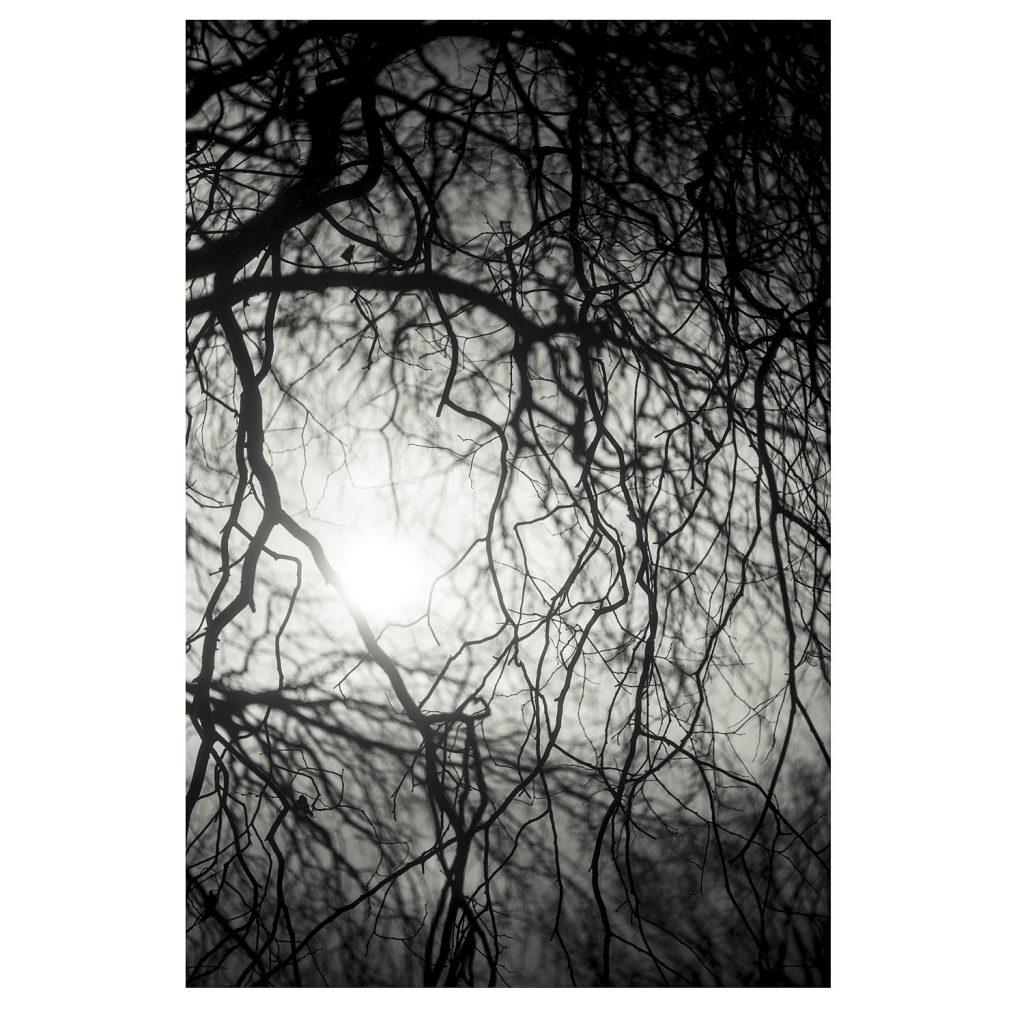 Winter trees, Kew - Celtis laevigata 'smallii'