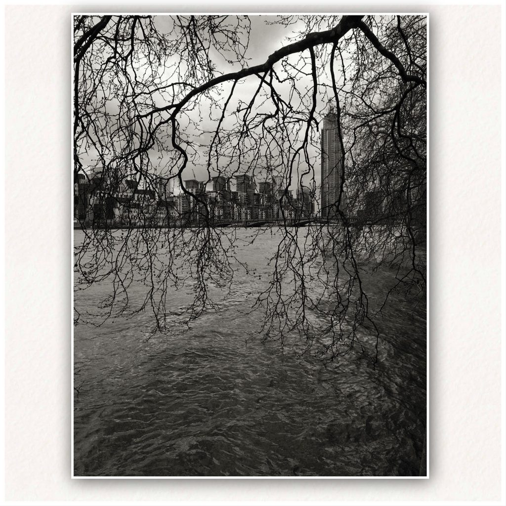 London Plane tree - high tide, overlooking Vauxhall Bridge