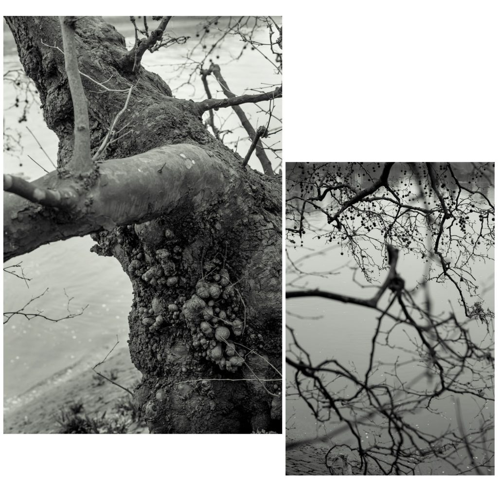 Plane tree, Mortlake