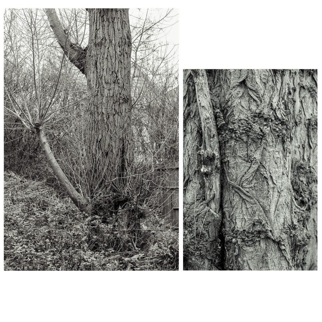 Wildling tree, Mortlake